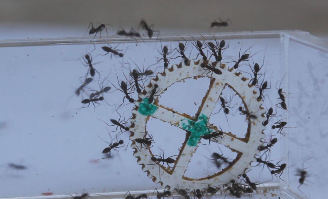 蚂蚁如何作出集体决策?-集智俱乐部