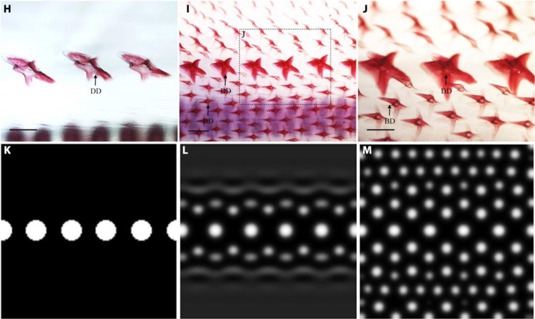 图灵斑图最新发现:鲨鱼鳞片和雏鸟羽毛的形成竟然有相似之处!-集智俱乐部